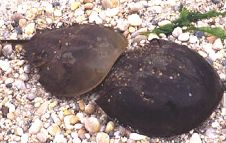 Horseshoe Crabs Mating, File Photo, Copyright 1999 - 2000, OutdoorPlaces.Com, All Rights Reserved